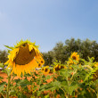 Beautiful Sunflowers field in Provence - France — Stock Photo