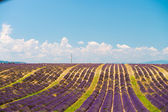 Lavender flower blooming scented fields in endless rows. Valenso — Foto Stock