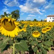 Sunflower meadows on a sunny day with farm on background — Stock Photo