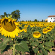 Sunflower field at sunset with white house on background — Stock Photo