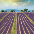 Beautiful portrait view of lavender fields in Provence - France — Stock Photo