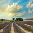 Lavander Fields in Provence at sunset — Stock Photo
