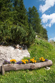 Flowers Colors of Dolomites in Summer Season - Italy — Stock Photo