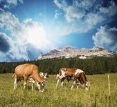 Grazing cows on Dolomites Mountains near Cortina d'Ampezzo — Stock Photo