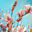 Wonderful colors of spring. Magnolia flowers against the sky at  — Stock Photo