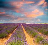 Lavendelvelden van de provence in juli — Stockfoto