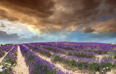 Lavender fields in Provence — Stock Photo
