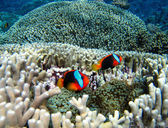 Nemo Fish on the Great Barrier Reef — Stock Photo