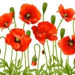 Spring flowers: poppy — Stock Vector #4211612