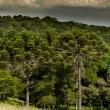Araucaria Forest — Stock Photo