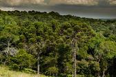 Araucaria Forest — Stock Photo
