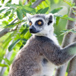 Lemur of Madagascar — Stock Photo