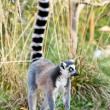 Lemur of Madagascar - Stock Photo
