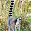 Постер, плакат: Lemur of Madagascar