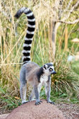 Lemur of Madagascar — 图库照片