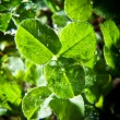 Clover leaves - Stock Photo