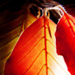 Leaves of Red European Beech — Stock Photo