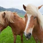 castagni cavalli islandesi — Foto Stock