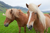 Chestnut Icelandic Horses — Stock Photo