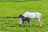 Icelandic horse with her colt — Stock Photo