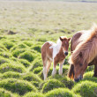 Stock Photo: Icelandic horse with her colt