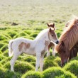 Icelandic horse with her colt — Stockfoto