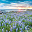 A 4WD car parked in a lupins field next to the atlantic coast lo — Stock Photo #39873623