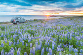 A 4WD car parked in a lupins field next to the atlantic coast lo — Foto de Stock