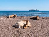 Cows sitting in the mediterranean beach of Barcaggio — Stock Photo