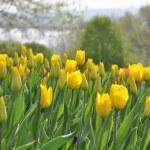 Yellow tulips — Stock Photo #24638327