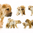 Set of funny sharpei puppies isolated on white background — Stock Photo