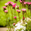 Stock Photo: Little pink flowers in the garden