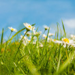 White daisies field and sky — Stock Photo