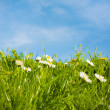 Wild white daisies meadow and sky — Stock Photo