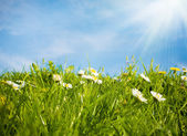 Wild white daisies meadow and sky — Stock Photo