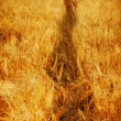 Stock Photo: Stylized photo of wheat field
