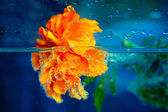 Marigold flower in water with bubbles on blue background — Stockfoto