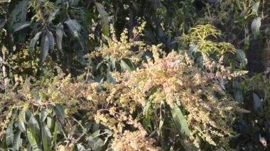 Mango flowers — Stock Video