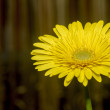 Yellow gerbera daisy. — Stock Photo #24028471