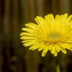 Yellow gerbera daisy. — Stock Photo #24028471