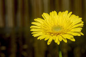 Yellow gerbera daisy. — Stock Photo