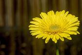 Yellow gerbera daisy. — Stock Photo