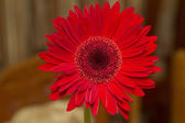 Red gerbera daisy — Stock Photo