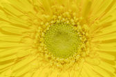 Macro shot of yellow gerbera daisy — Stock Photo