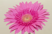 Macro shot of gerbera daisy — Stock Photo