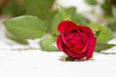 Close up of red rose — Stock Photo