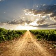 Dramatic vineyard — Foto de stock #29935813