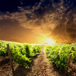 Dramatic vineyard — Foto de stock #29935827