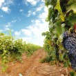 vineyard — Stock Photo #29936037