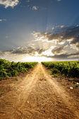 Dramatic vineyard — Stock Photo